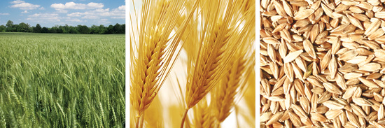 AG ICON WHEAT